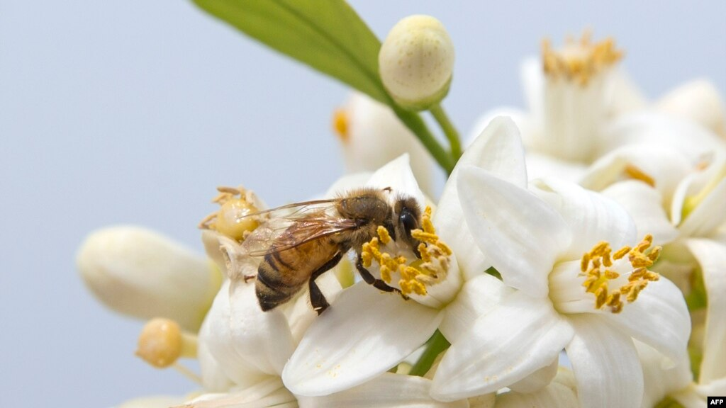 شہد کی مکھیوں کی آبادیوں میں قدرے بہتری کے آثار