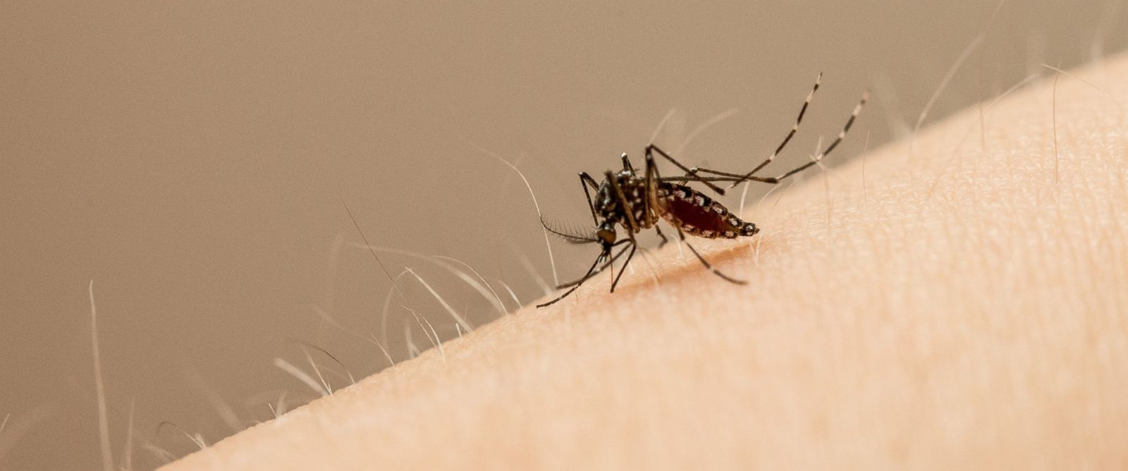 Single mosquito bite might be enough to transmit multiple viruses, study finds