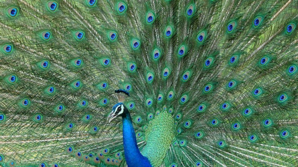 بھارت: قومی پرندے مور کو نقصان دہ قرار دینے کی تجویز