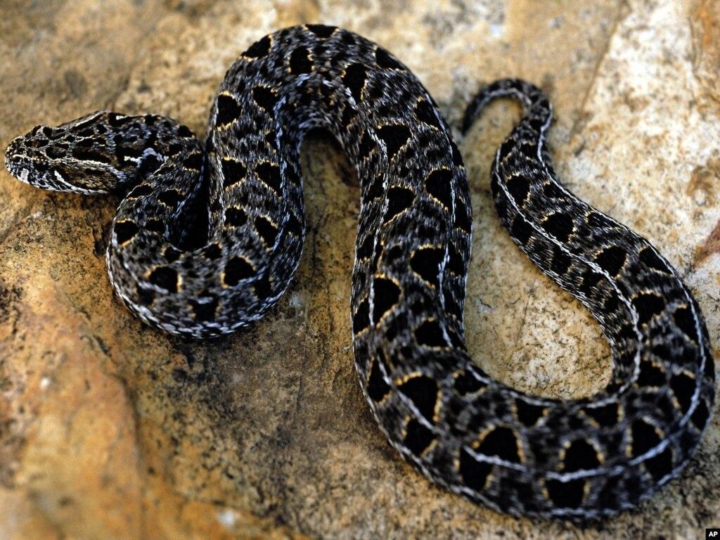 سانپ کے ہاتھ پاؤں